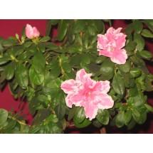 Amatorzy azalii powinni też kupić nawóz do kwiatów kwitnących, w których azot jest w formie amonowej, zakwaszającej podłoże.