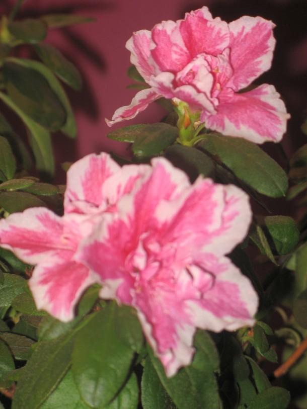 Jeśli w mieszkaniu jest ciepło i sucho, codziennie musimy zraszać roślinę, ale od spodu! Kwiatki azalii bardzo nie lubią moczenia.