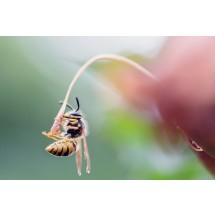 Jad owadów błonkoskrzydłych, takich jak osa, pszczoła, szerszeń, może wywołać wstrząs anafilaktyczny.