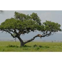 Między Lake Manara a olbrzymią równiną Serengeti (15 tys. m kw), wszędzie czają się akacje, chuderlawe drzewka z rozcapierzonymi koronami pełnią straż przy drogach.