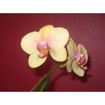 Falenopsis, ćmówka (Phalaenopsis Blume) - gatunek doskonały na początek przygody ze storczykiem