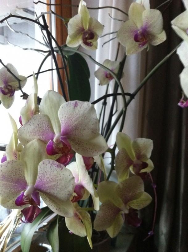 Aby po odpoczynku zainicjować storczyk do ponownego kwitnienia trzeba go przenieść na okno, gdzie jest więcej światła.